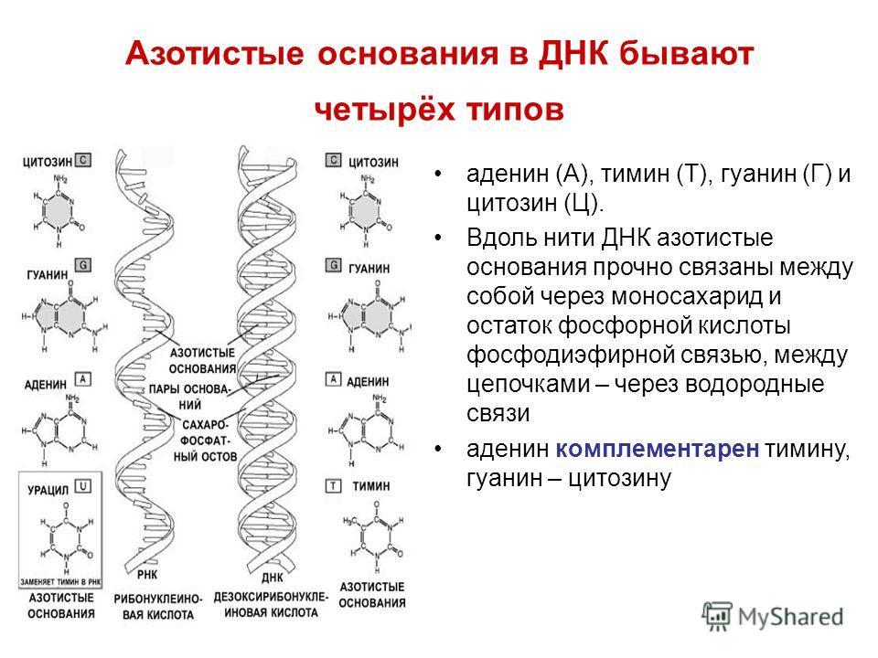 Азотистые основания в ДНК бывают четырёх типов аденин (А), тимин (Т), гуанин (Г) и цитозин (Ц). Вдоль нити ДНК азотистые основания прочно связаны между собой через моносахарид и остаток фосфорной кислоты фосфодиэфирной связью, между цепочками – через