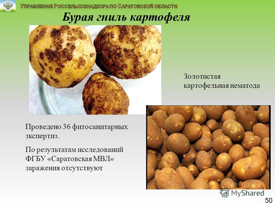 Бурая гниль картофеля Золотистая картофельная нематода Проведено 36 фитосанитарных зкспертиз. По результатам исследований ФГБУ «Саратовская МВЛ» заражения отсутствуют 50