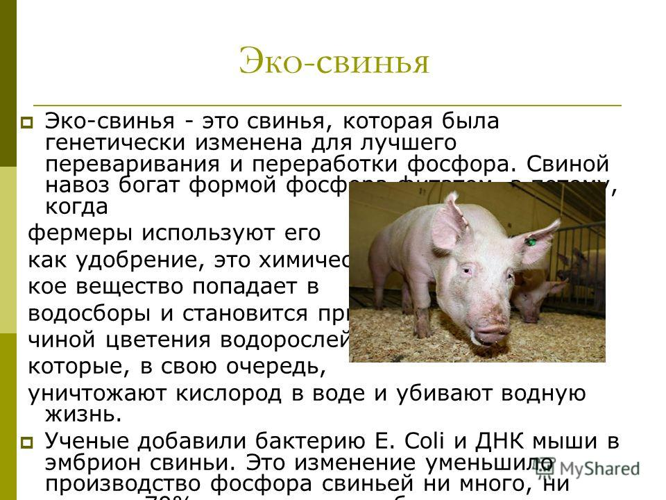 Эко-свинья Эко-свинья - это свинья, которая была генетически изменена для лучшего переваривания и переработки фосфора. Свиной навоз богат формой фосфора фитатом, а потому, когда фермеры используют его как удобрение, это химичес- кое вещество попадает