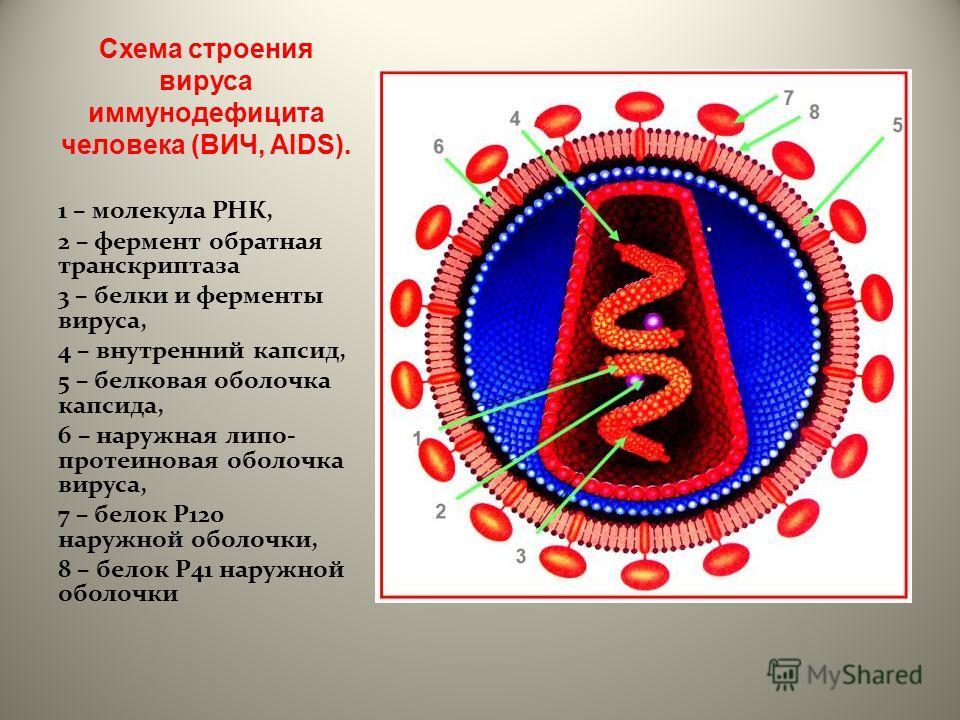 Схема строения вируса иммунодефицита человека (ВИЧ, AIDS). 1 – молекула РНК, 2 – фермент обратная транскриптаза 3 – белки и ферменты вируса, 4 – внутренний капсид, 5 – белковая оболочка капсида, 6 – наружная липо- протеиновая оболочка вируса, 7 – бел