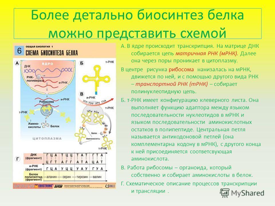 Более детально биосинтез белка можно представить схемой А. В ядре происходит транскрипция. На матрице ДНК собирается цепь матричная РНК (мРНК). Далее она через поры проникает в цитоплазму. В центре рисунка рибосома нанизалась на мРНК, движется по ней