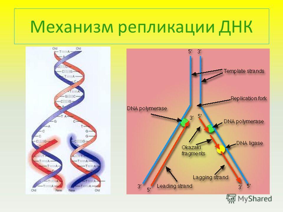 Механизм репликации ДНК
