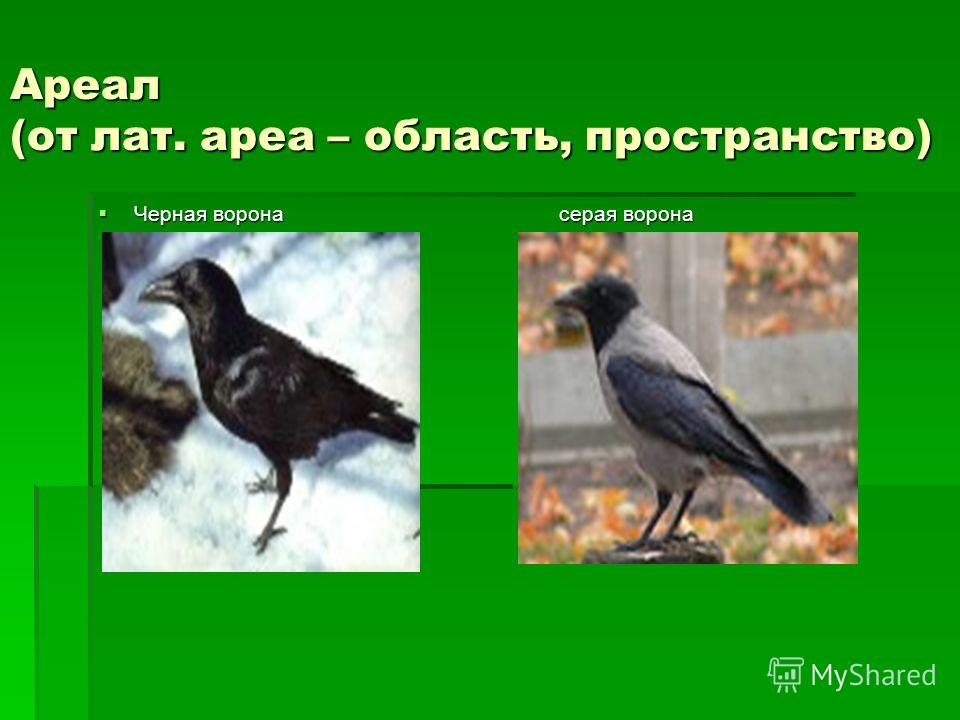 Ареал (от лат. ареа – область, пространство) Черная ворона серая ворона Черная ворона серая ворона