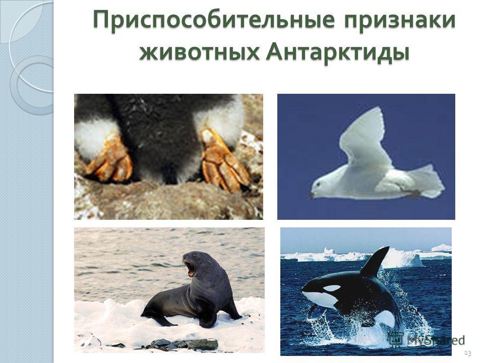 Приспособительные признаки животных Антарктиды 13