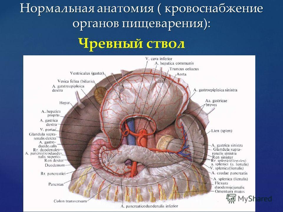Чревный ствол Нормальная анатомия ( кровоснабжение органов пищеварения):
