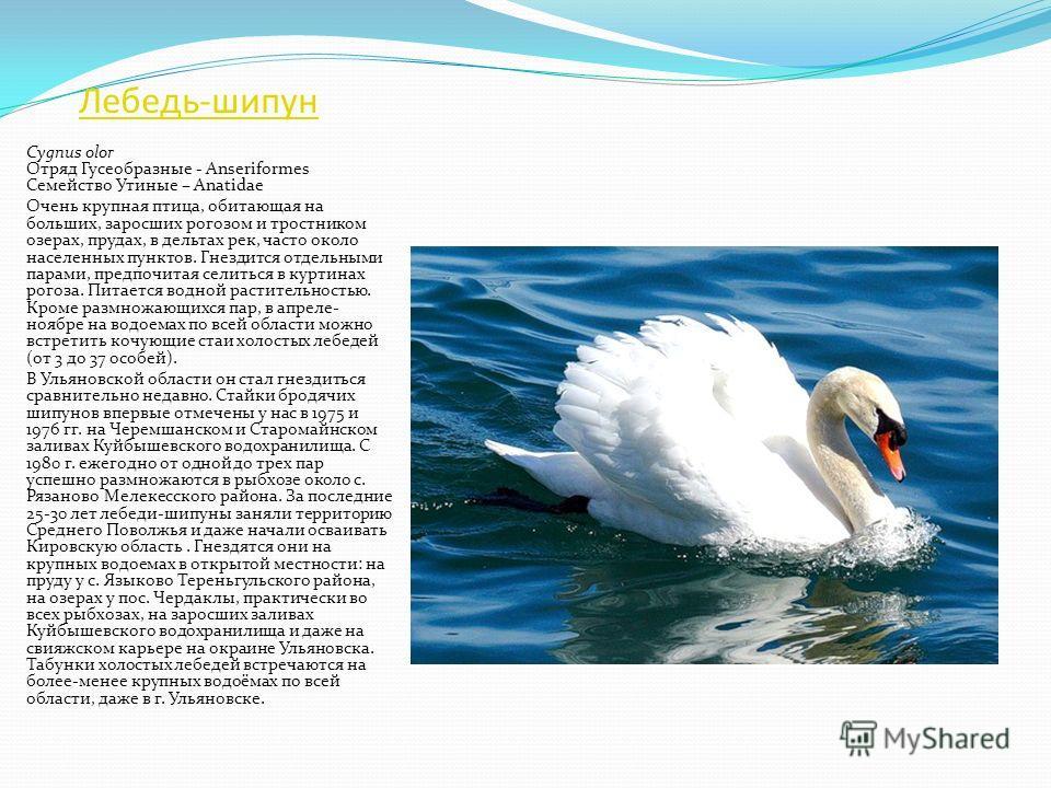 Лебедь-кликун Cygnus cygnus Отряд Гусеобразные - Anseriformes Семейство Утиные – Anatidae Очень крупная водоплавающая птица. Гнездится отдельными парами на зарастающих озерах от тундры до лесостепи. Питается водной растительностью. Зимует как на своб