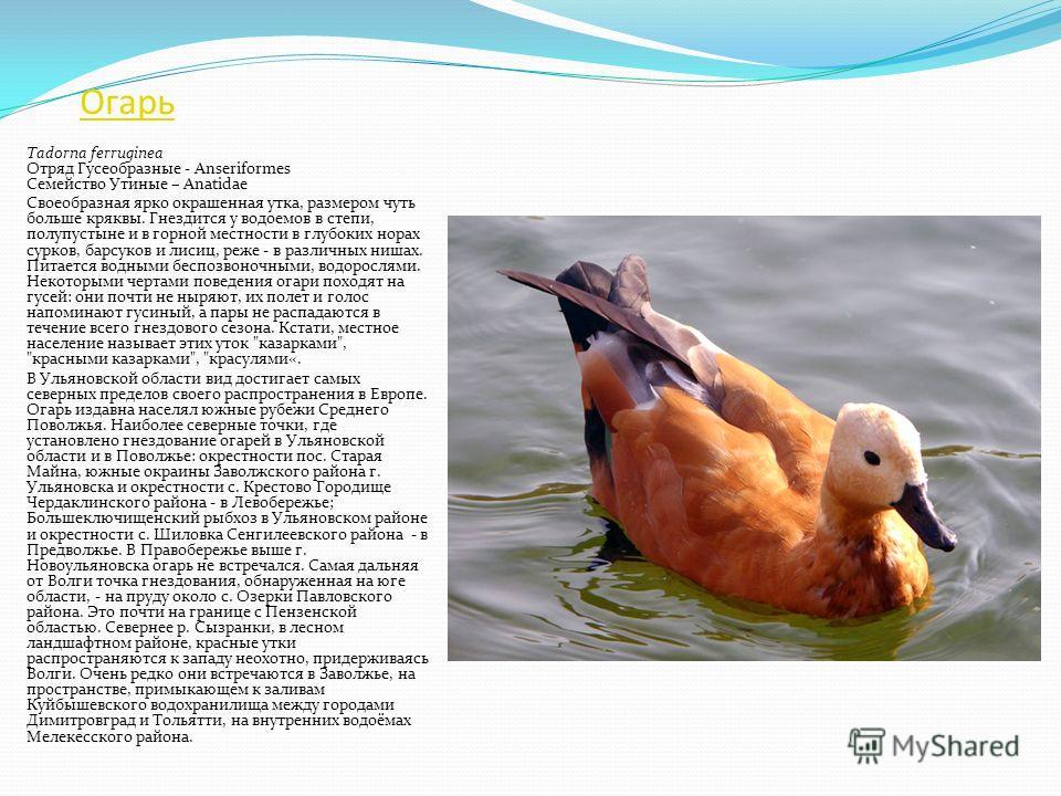 Лебедь-шипун Cygnus olor Отряд Гусеобразные - Anseriformes Семейство Утиные – Anatidae Очень крупная птица, обитающая на больших, заросших рогозом и тростником озерах, прудах, в дельтах рек, часто около населенных пунктов. Гнездится отдельными парами