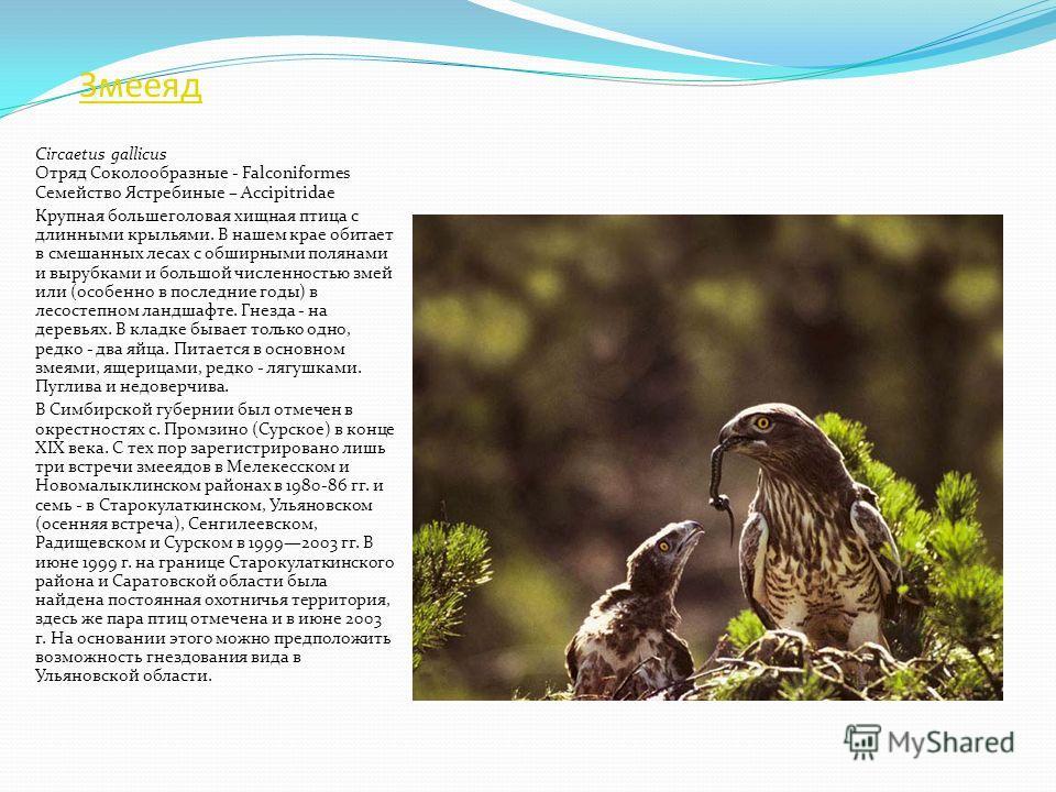 Степной лунь Circus macrourus Отряд Соколообразные - Falconiformes Семейство Ястребиные – Accipitridae Средней величины хищная птица легкого сложения, похожая на лугового и полевого луней. Гнездится на земле в высокой траве. Единственное гнездо с пят