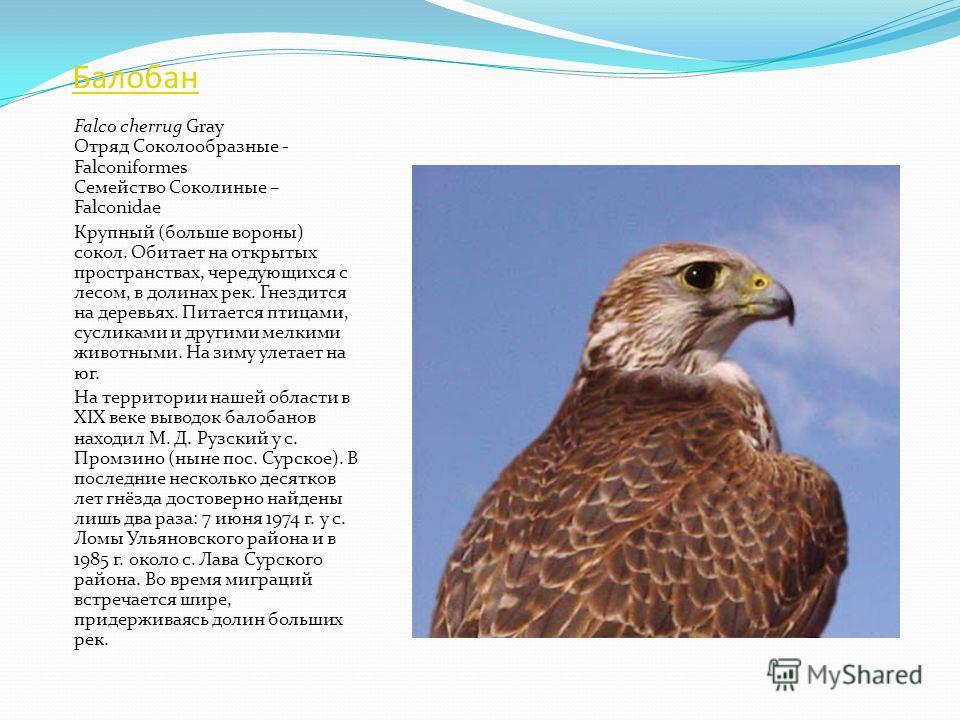 Орлан-белохвост Haliaeetus albicilla Отряд Соколообразные - Falconiformes Семейство Ястребиные - Accipitridae Очень крупная птица (размах крыльев - 22,5 м, вес самок - до шести килограммов), похожая на орла. Гнездится на высоких деревьях, обычно побл