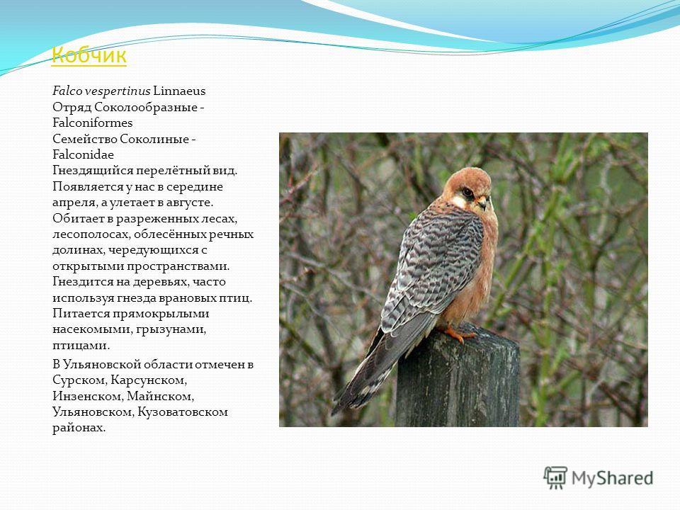 Сапсан Falco peregrinus Tunstall Отряд Соколообразные - Falconiformes Семейство Соколиные - Falconidae Встречается круглый год. Единственное гнездо было найдено в июле 1995 г. в окрестностях с.оЛесное Матюнино Кузоватовского района. Гнездится на дере