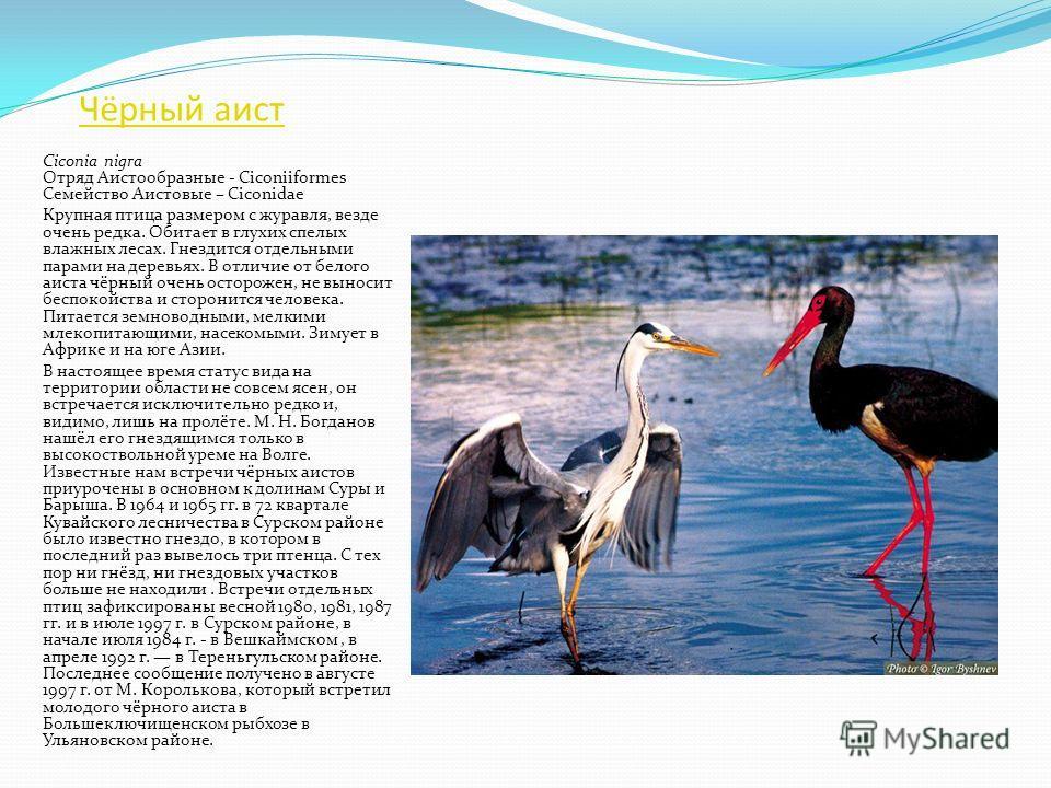 Малая выпь Ixobrychus minutus Отряд Аистообразные - Ciconiiformes Семейство Цаплевые – Ardeidae Самая маленькая из наших цапель - размером чуть больше голубя. Обитает в прибрежных зарослях различных водоемов с болотистыми берегами, обычно это зараста