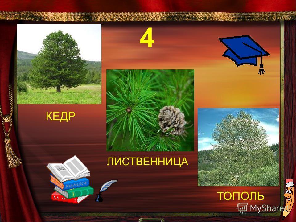 КЕДР ТОПОЛЬ ЛИСТВЕННИЦА 4