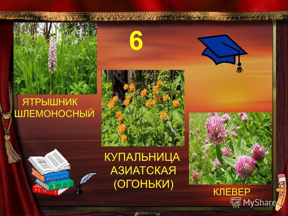 КУПАЛЬНИЦА АЗИАТСКАЯ (ОГОНЬКИ) ЯТРЫШНИК ШЛЕМОНОСНЫЙ КЛЕВЕР 6