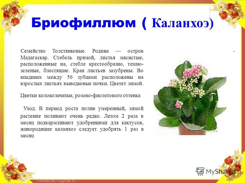 FokinaLida.75@mail.ru Бриофиллюм ( Каланхоэ) Семейство Толстянковые. Родина остров Мадагаскар. Стебель прямой, листья мясистые, расположенные на, стебле крестообразно, темно- зеленые, блестящие. Края листьев зазубрены. Во впадинах между 56 зубцами ра