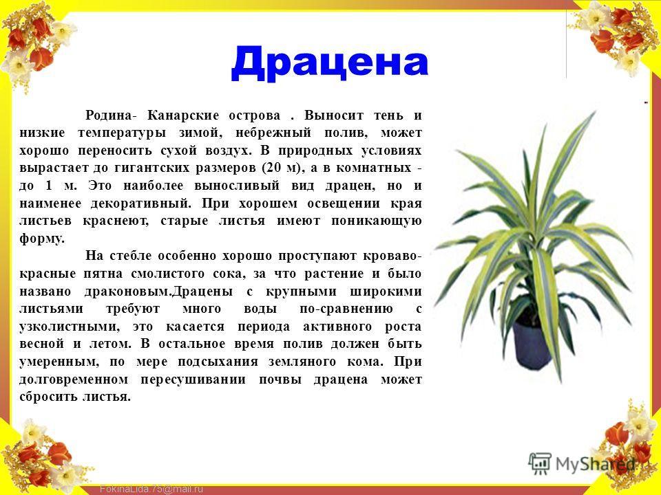FokinaLida.75@mail.ru Драцена Родина- Канарские острова. Выносит тень и низкие температуры зимой, небрежный полив, может хорошо переносить сухой воздух. В природных условиях вырастает до гигантских размеров (20 м), а в комнатных - до 1 м. Это наиболе