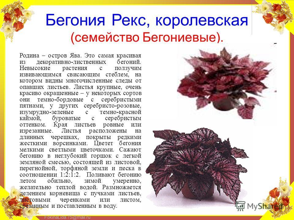 FokinaLida.75@mail.ru Бегония Рекс, королевская (семейство Бегониевые). Родина – остров Ява. Это самая красивая из декоративно-лиственных бегоний. Невысокие растения с ползучим извивающимся свисающим стеблем, на котором видны многочисленные следы от