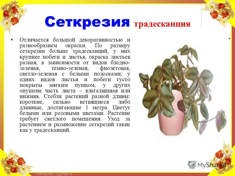 FokinaLida.75@mail.ru Сеткрезия традесканция Отличается большой декоративностью и разнообразием окраски. По размеру сеткрезии больше традесканций, у них крупнее побеги и листья, окраска листьев разная, в зависимости от видов бледно- зеленая, темно-зе