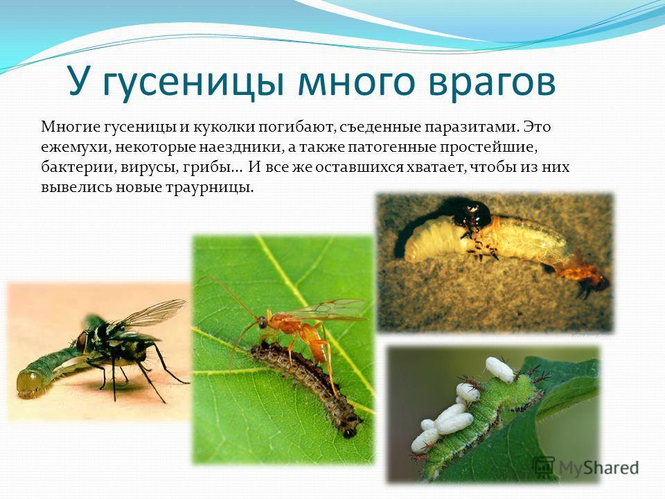 У гусеницы много врагов Многие гусеницы и куколки погибают, съеденные паразитами. Это ежемухи, некоторые наездники, а также патогенные простейшие, бактерии, вирусы, грибы... И все же оставшихся хватает, чтобы из них вывелись новые траурницы.