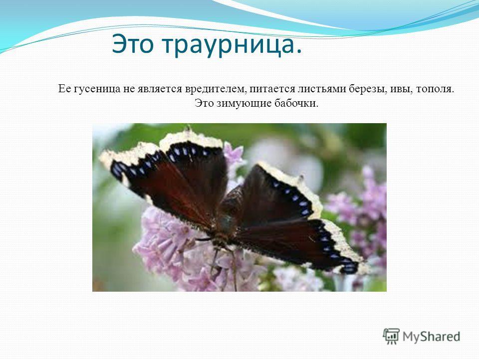 Это траурница. Ее гусеница не является вредителем, питается листьями березы, ивы, тополя. Это зимующие бабочки.