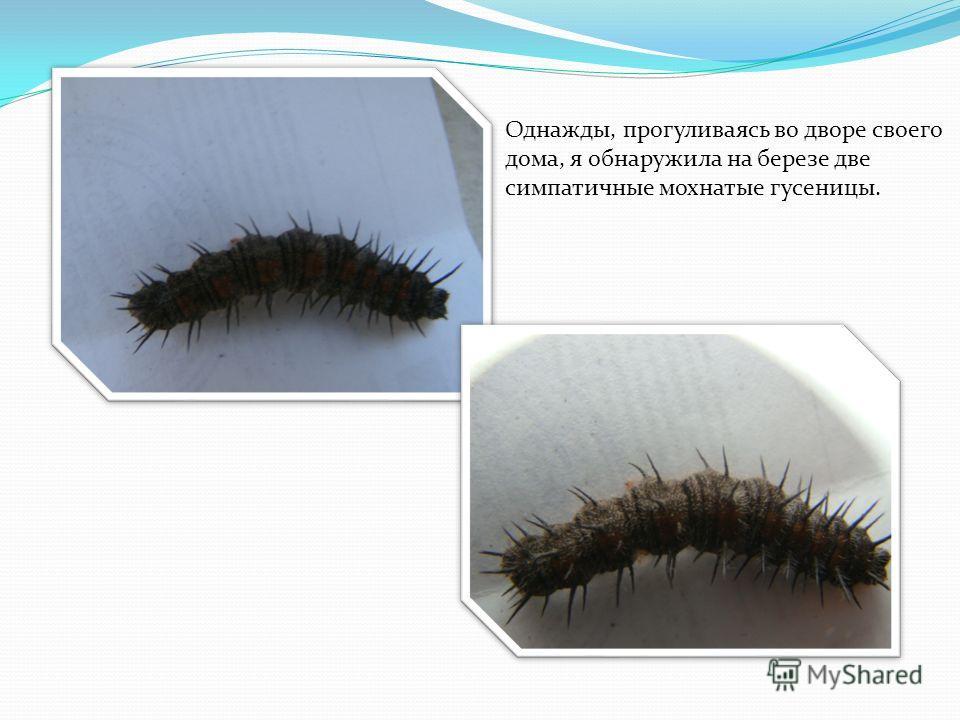 Однажды, прогуливаясь во дворе своего дома, я обнаружила на березе две симпатичные мохнатые гусеницы.