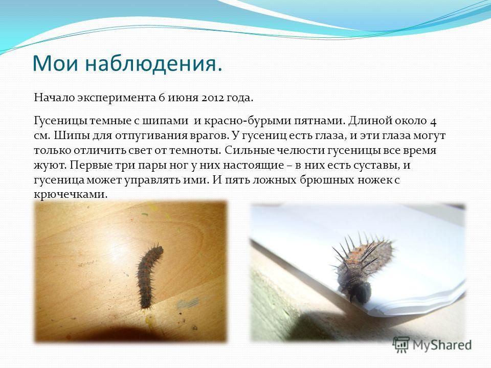 Мои наблюдения. Начало эксперимента 6 июня 2012 года. Гусеницы темные с шипами и красно-бурыми пятнами. Длиной около 4 см. Шипы для отпугивания врагов