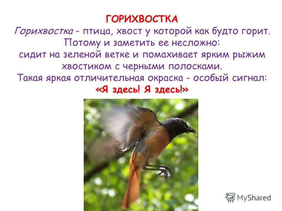 ГОРИХВОСТКА Горихвостка - птица, хвост у которой как будто горит. Потому и заметить ее несложно: сидит на зеленой ветке и помахивает ярким рыжим хвостиком с черными полосками. Такая яркая отличительная окраска - особый сигнал: «Я здесь! Я здесь!»