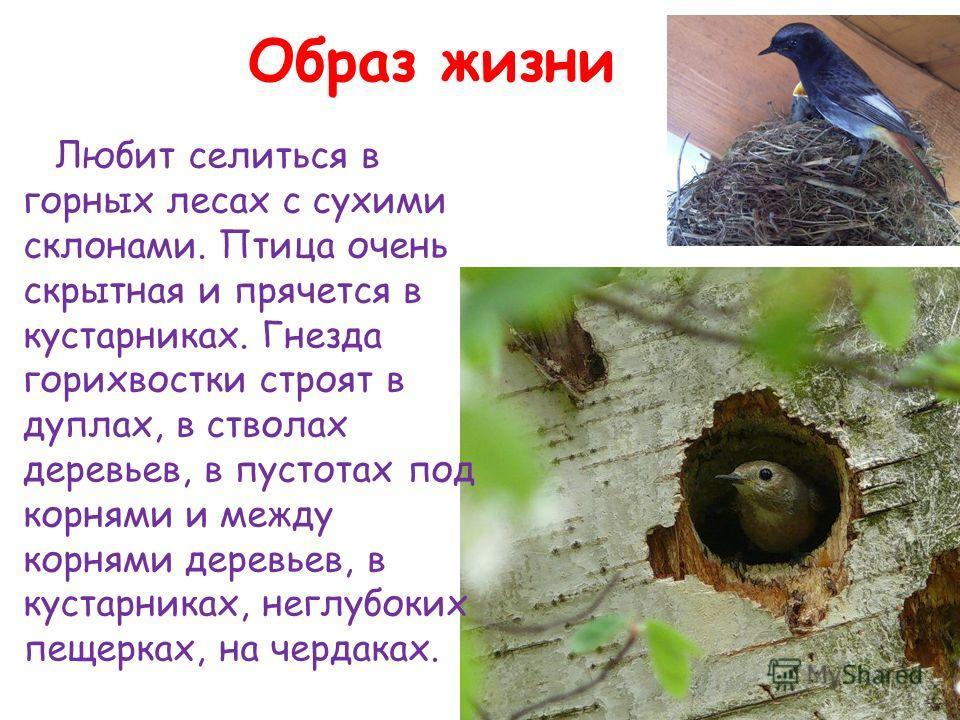 Образ жизни Любит селиться в горных лесах с сухими склонами. Птица очень скрытная и прячется в кустарниках. Гнезда горихвостки строят в дуплах, в стволах деревьев, в пустотах под корнями и между корнями деревьев, в кустарниках, неглубоких пещерках, н