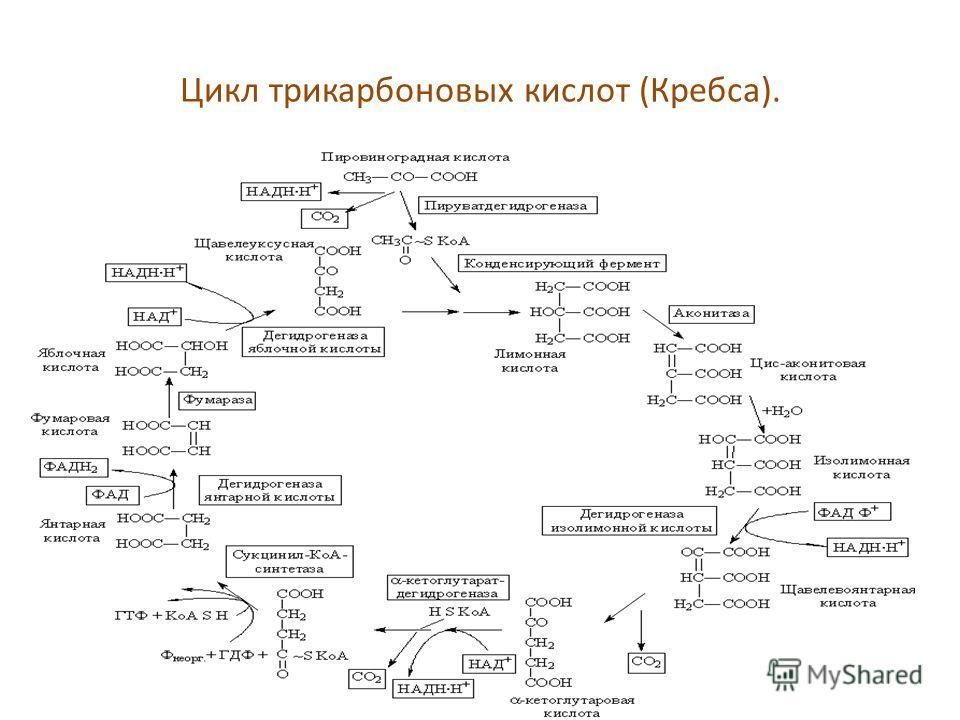 Цикл трикарбоновых кислот (Кребса).