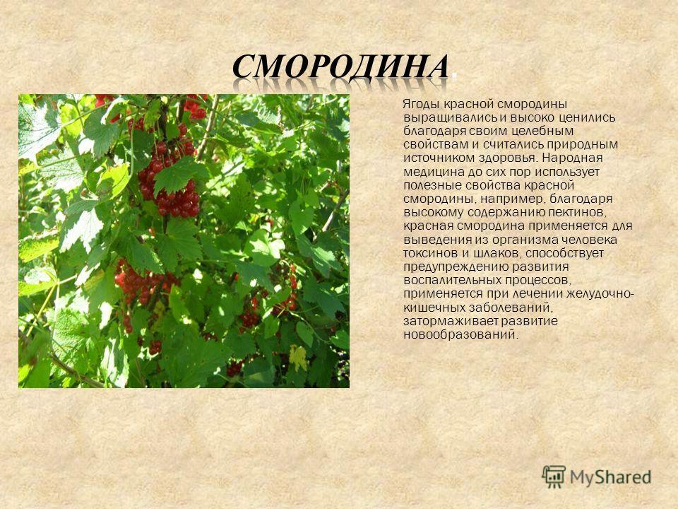 Ягоды красной смородины выращивались и высоко ценились благодаря своим целебным свойствам и считались природным источником здоровья. Народная медицина до сих пор использует полезные свойства красной смородины, например, благодаря высокому содержанию