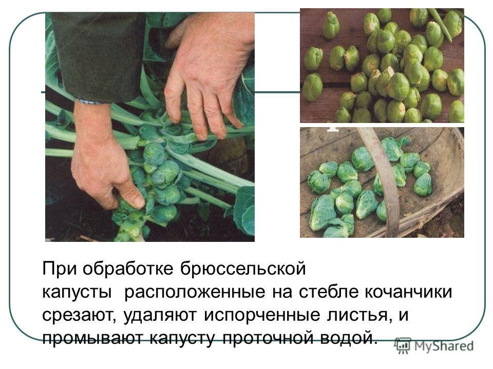При обработке брюссельской капусты расположенные на стебле кочанчики срезают, удаляют испорченные листья, и промывают капусту проточной водой.
