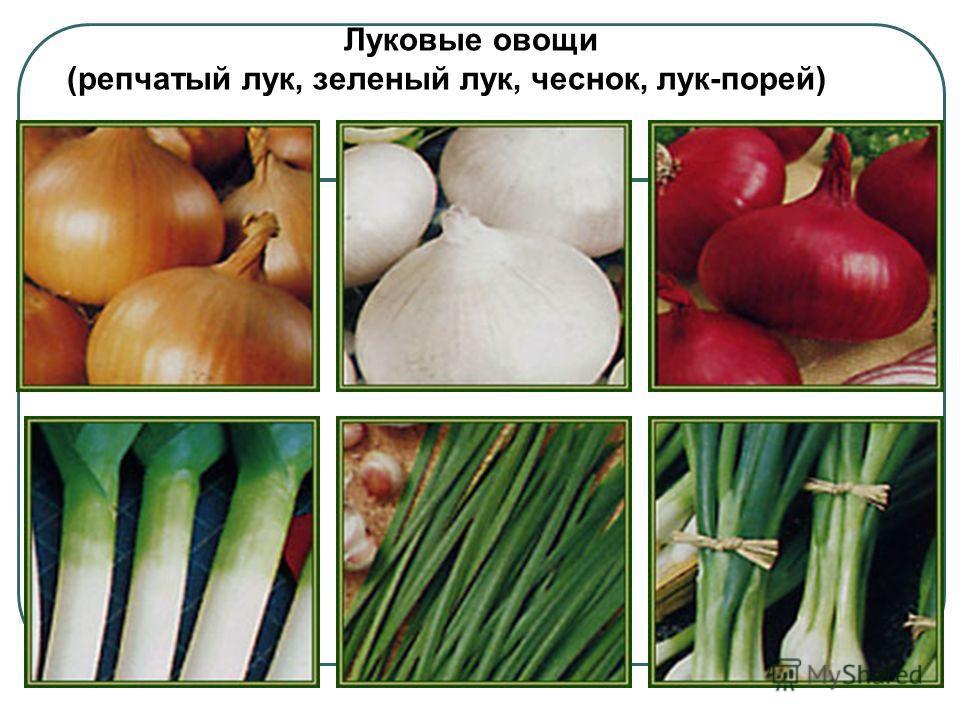 Луковые овощи (репчатый лук, зеленый лук, чеснок, лук-порей)