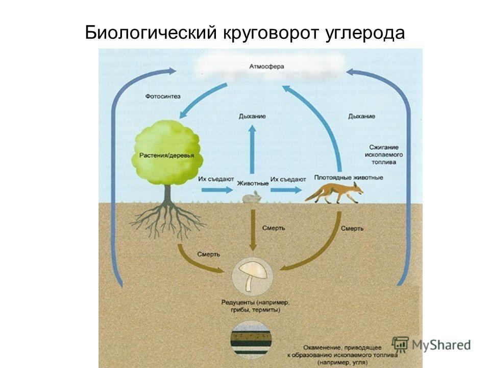Биологический круговорот углерода