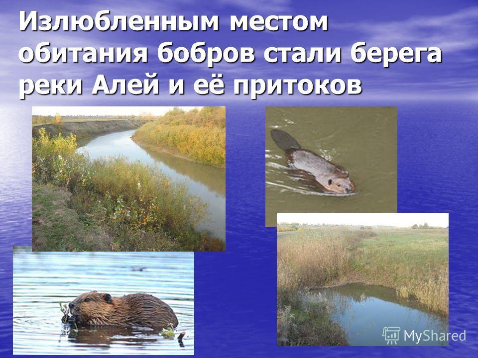 Излюбленным местом обитания бобров стали берега реки Алей и её притоков