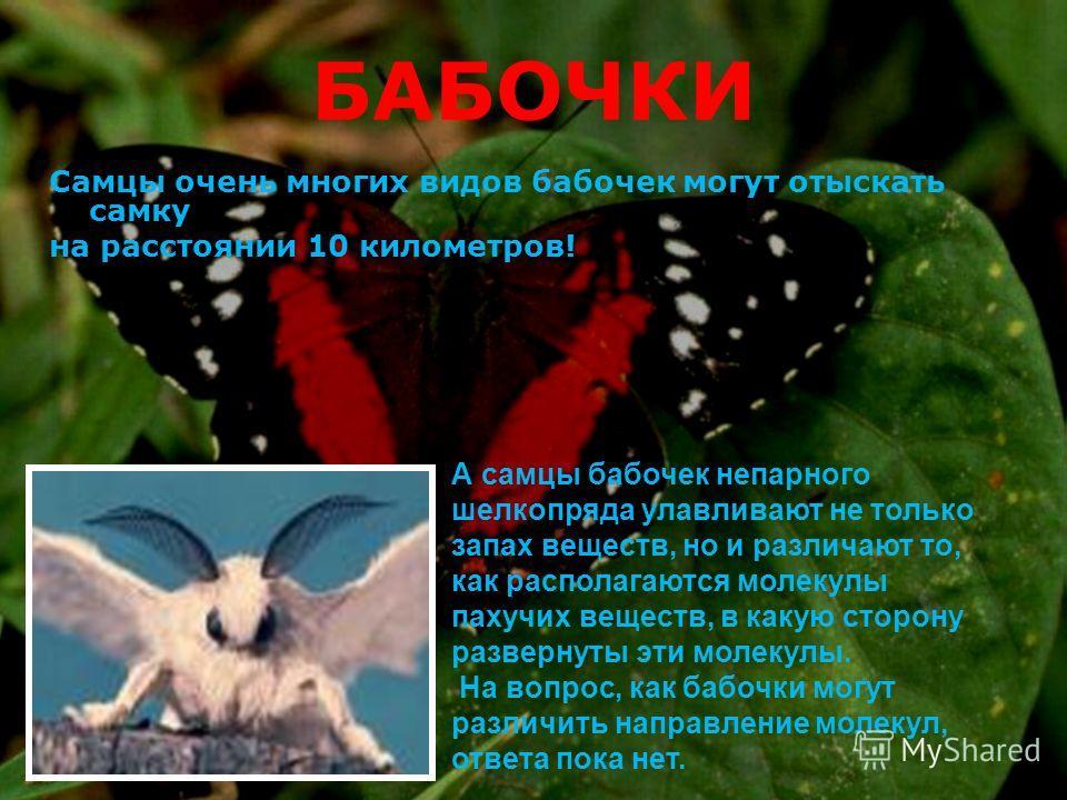 БАБОЧКИ Самцы очень многих видов бабочек могут отыскать самку на расстоянии 10 километров! А самцы бабочек непарного шелкопряда улавливают не только запах веществ, но и различают то, как располагаются молекулы пахучих веществ, в какую сторону разверн