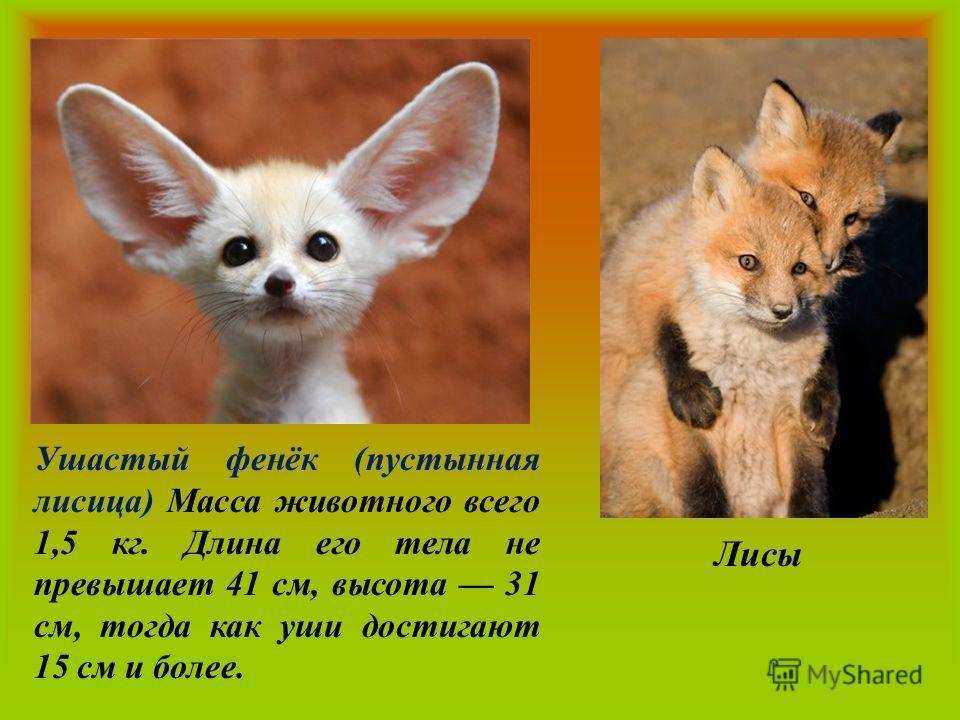 Ушастый фенёк (пустынная лисица) Масса животного всего 1,5 кг. Длина его тела не превышает 41 см, высота 31 см, тогда как уши достигают 15 см и более. Лисы