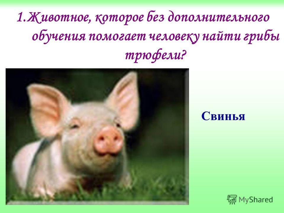 1.Животное, которое без дополнительного обучения помогает человеку найти грибы трюфели? Свинья