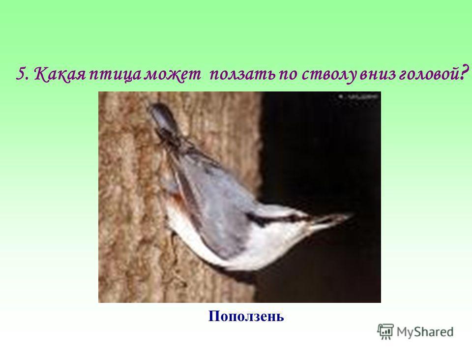 5.Какая птица может ползать по стволу вниз головой ? Поползень