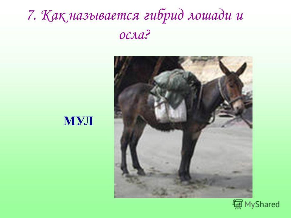 7. Как называется гибрид лошади и осла? МУЛ