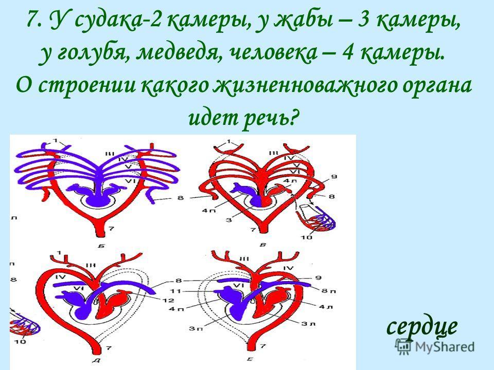 7. У судака-2 камеры, у жабы – 3 камеры, у голубя, медведя, человека – 4 камеры. О строении какого жизненноважного органа идет речь? сердце