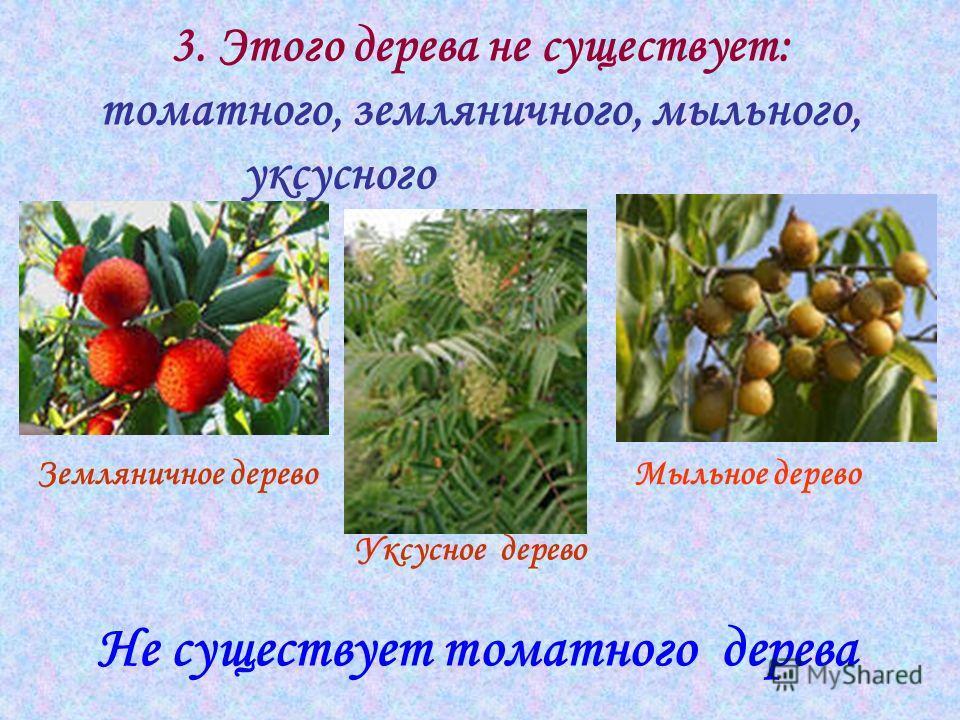 3. Этого дерева не существует: томатного, земляничного, мыльного, уксусного Не существует томатного дерева Земляничное деревоМыльное дерево Уксусное дерево