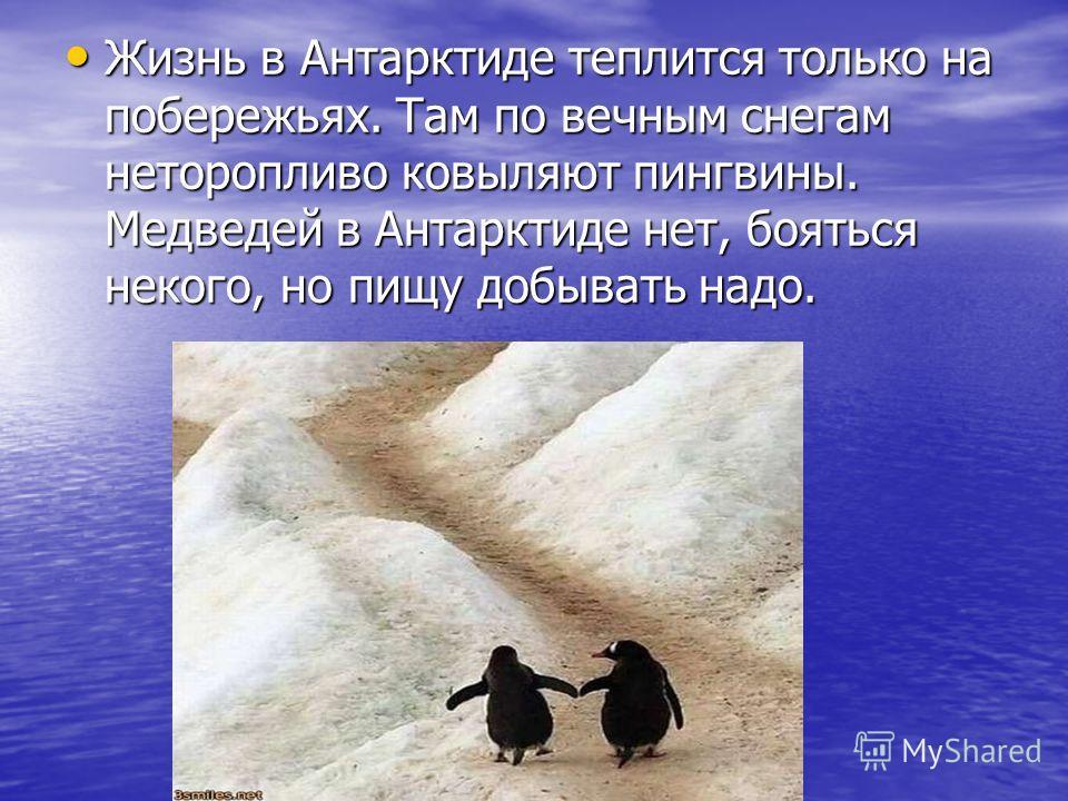 Жизнь в Антарктиде теплится только на побережьях. Там по вечным снегам неторопливо ковыляют пингвины. Медведей в Антарктиде нет, бояться некого, но пищу добывать надо. Жизнь в Антарктиде теплится только на побережьях. Там по вечным снегам неторопливо