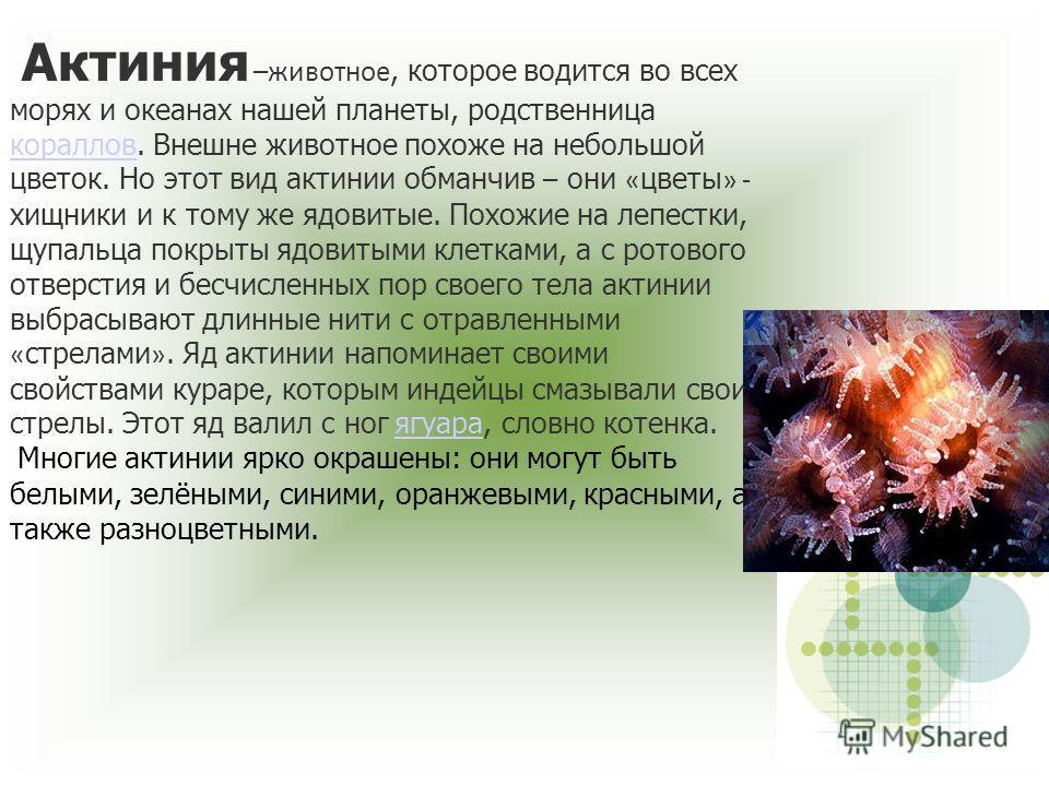 Актиния –животное, которое водится во всех морях и океанах нашей планеты, родственница кораллов. Внешне животное похоже на небольшой цветок. Но этот вид актинии обманчив – они « цветы » - хищники и к тому же ядовитые. Похожие на лепестки, щупальца по