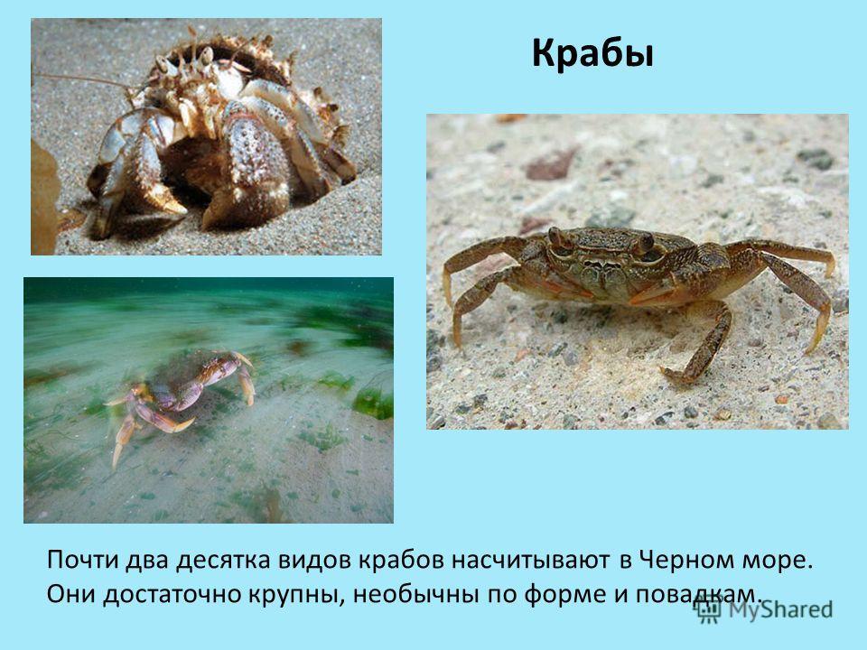 Крабы Почти два десятка видов крабов насчитывают в Черном море. Они достаточно крупны, необычны по форме и повадкам.