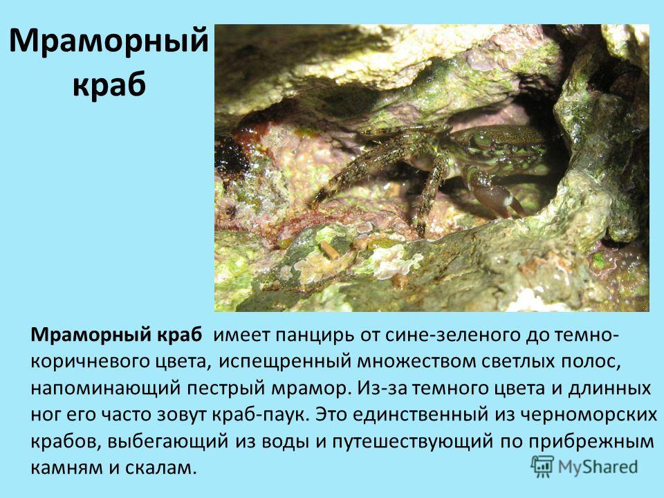 Мраморный краб Мраморный краб имеет панцирь от сине-зеленого до темно- коричневого цвета, испещренный множеством светлых полос, напоминающий пестрый мрамор. Из-за темного цвета и длинных ног его часто зовут краб-паук. Это единственный из черноморских