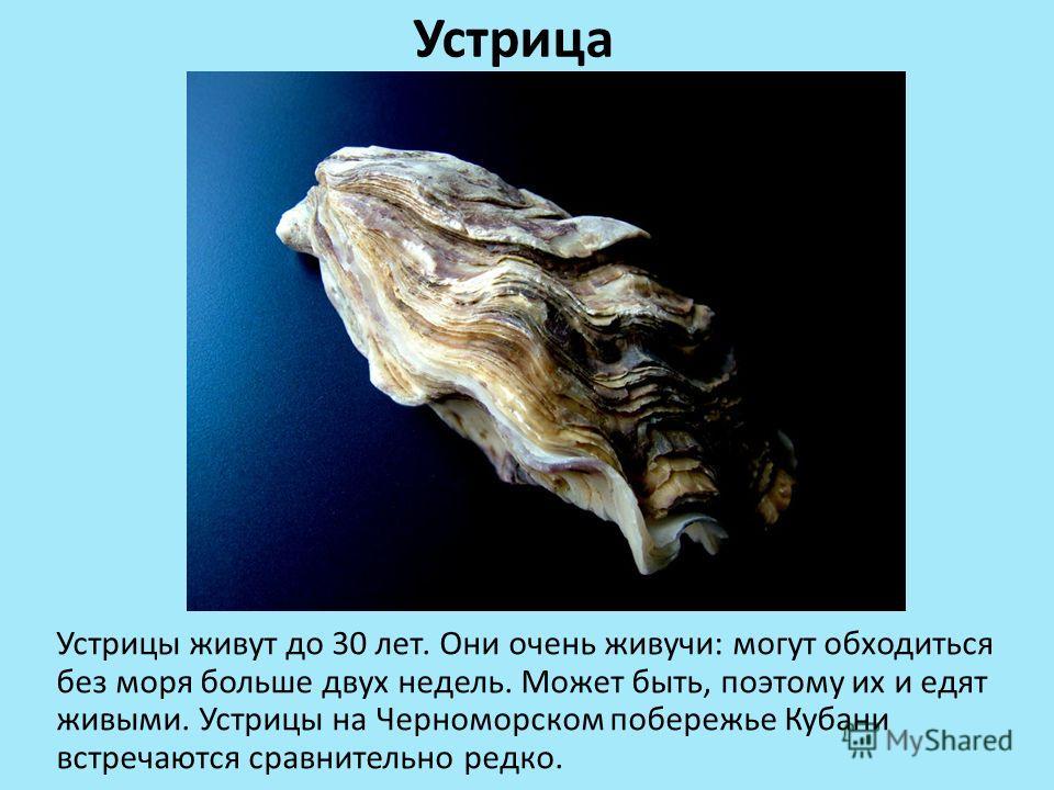 Устрица Устрицы живут до 30 лет. Они очень живучи: могут обходиться без моря больше двух недель. Может быть, поэтому их и едят живыми. Устрицы на Черноморском побережье Кубани встречаются сравнительно редко.