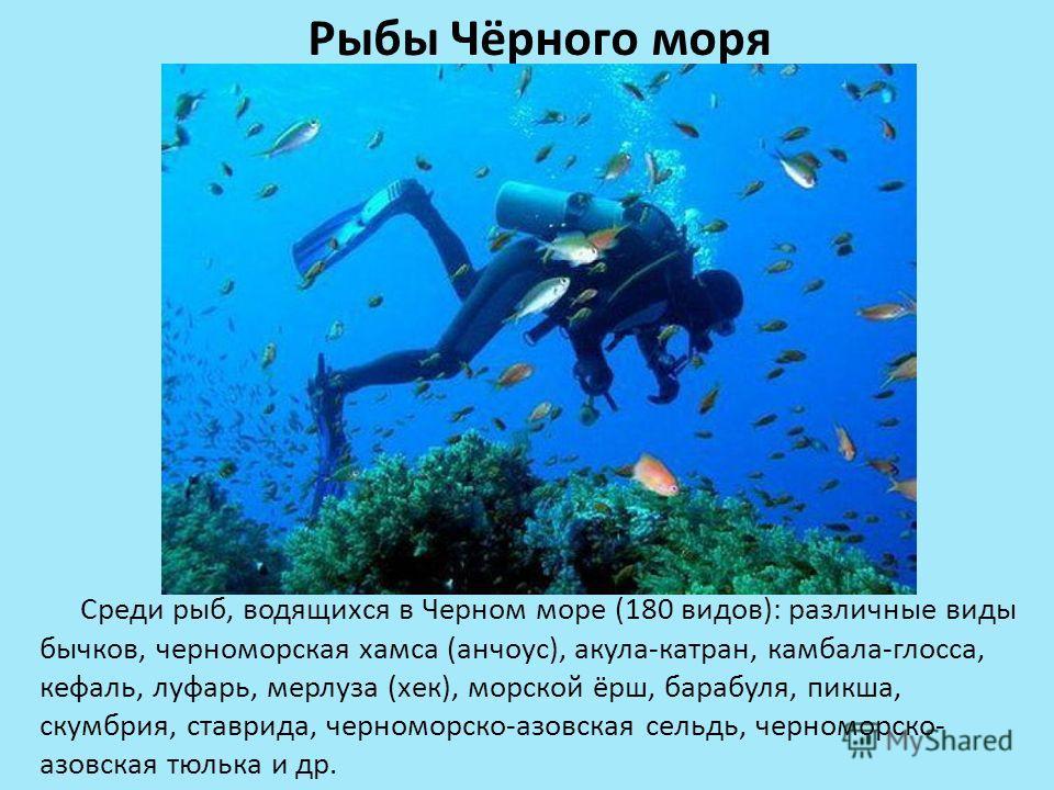 Рыбы Чёрного моря Среди рыб, водящихся в Черном море (180 видов): различные виды бычков, черноморская хамса (анчоус), акула-катран, камбала-глосса, кефаль, луфарь, мерлуза (хек), морской ёрш, барабуля, пикша, скумбрия, ставрида, черноморско-азовская