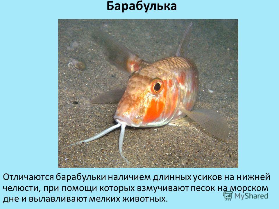 Барабулька Отличаются барабульки наличием длинных усиков на нижней челюсти, при помощи которых взмучивают песок на морском дне и вылавливают мелких животных.