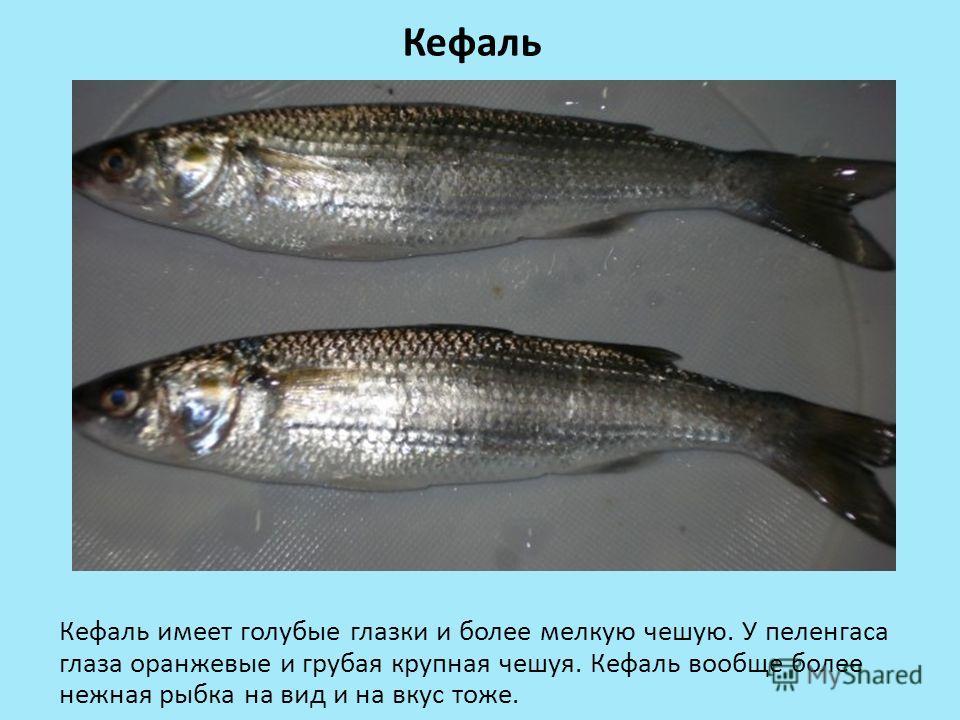 Кефаль Кефаль имеет голубые глазки и более мелкую чешую. У пеленгаса глаза оранжевые и грубая крупная чешуя. Кефаль вообще более нежная рыбка на вид и на вкус тоже.