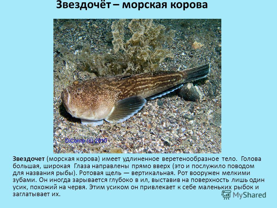 Звездочёт – морская корова Звездочет (морская корова) имеет удлиненное веретенообразное тело. Голова большая, широкая Глаза направлены прямо вверх (это и послужило поводом для названия рыбы). Ротовая щель вертикальная. Рот вооружен мелкими зубами. Он