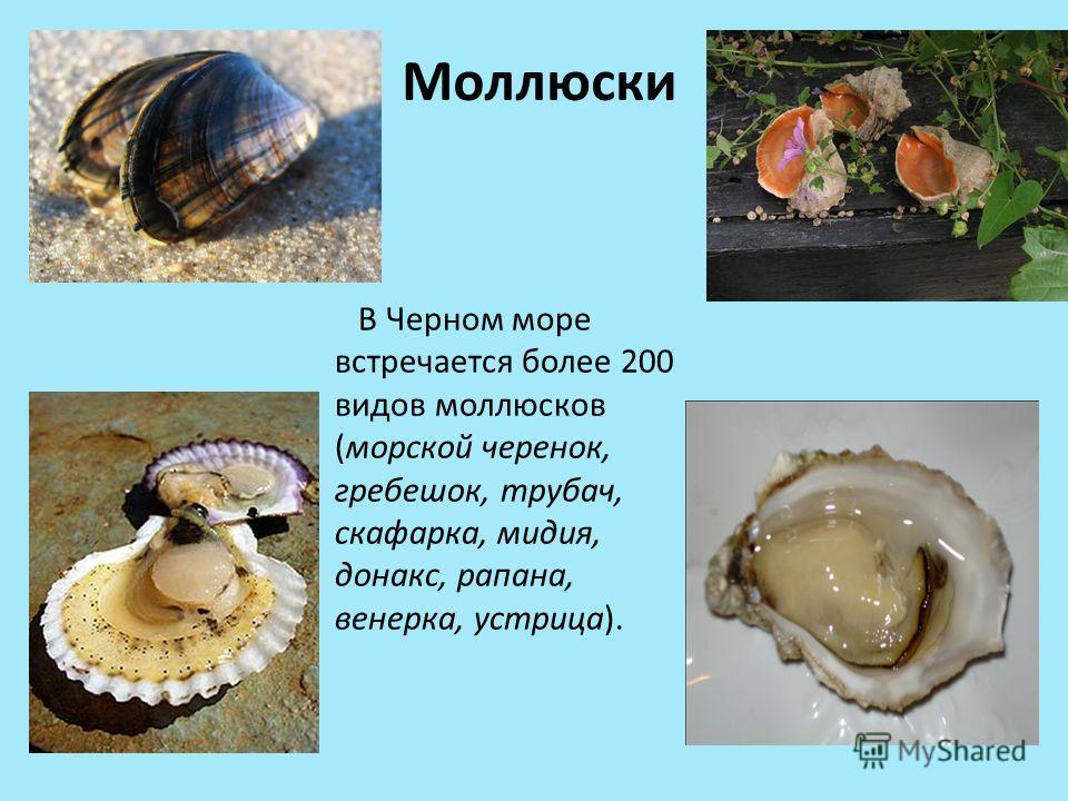 Моллюски В Черном море встречается более 200 видов моллюсков (морской черенок, гребешок, трубач, скафарка, мидия, донакс, рапана, венерка, устрица).